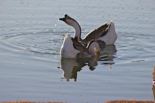 Geese in Worship