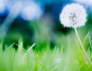 Peaceful Dandelion