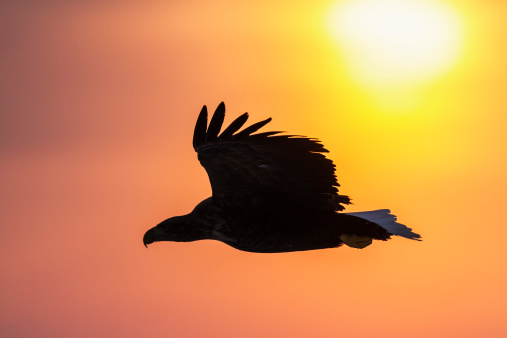 Eagle at Sunrise